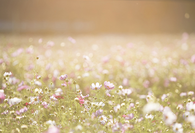 Beautiful field with pink flowers and sunlight